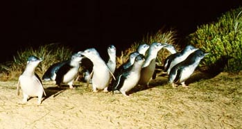 Fairy Penguin Parade, Phillip Island